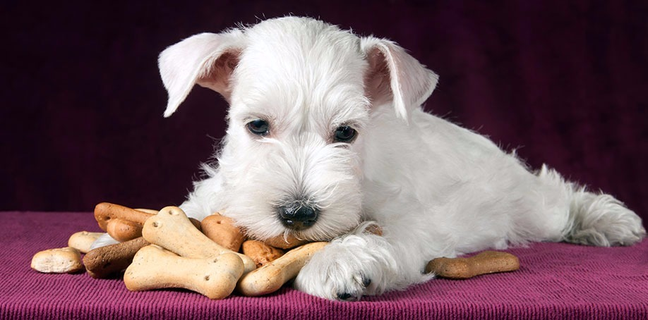 Gorgeous white puppy laying with his dog biscuits
